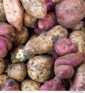 Local Sweet Potatoes